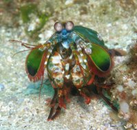 Mantis Shrimp, Cook Island, Northern NSW, Australia